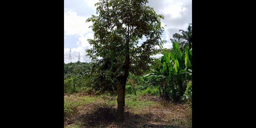 Projek Tanaman Durian Ong Mui Eng