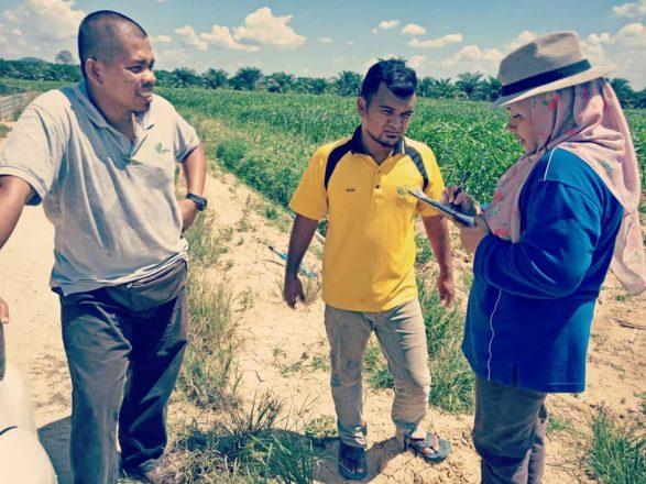Fall Army Worm perosak baru tanaman jagung