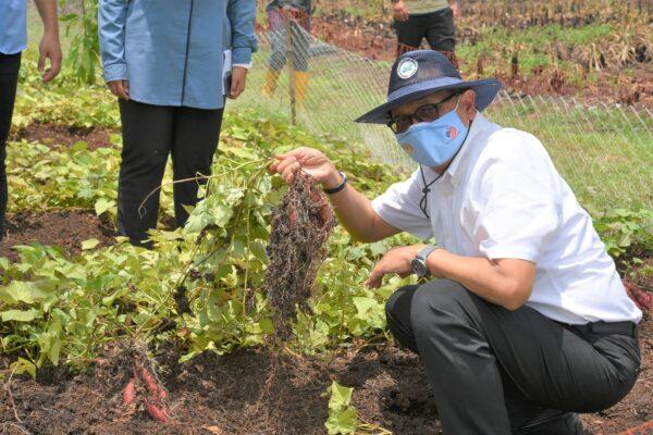 Projek Tanaman Keledek Menjadi Tumpuan Lawatan Kerja YB EXCO Pertanian Johor Ke Batu Pahat